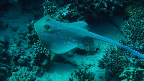 beautiful purple pointed ray hides on the ocean floor and glides over coral reef Footage
