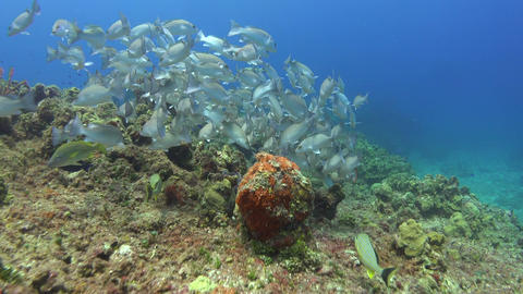 a large school of fish swims across the ocean floor and coral reefs Footage