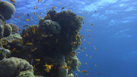 a school of orange fish swarm around corals illuminated by sunlight Footage