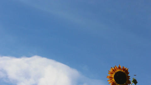 Sunflower against the sky with clouds Footage