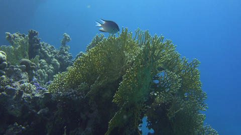 sunlight highlights a coral reef and fish curiously watching Footage