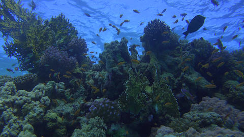 plenty of colorful fish inhabit a beautiful coral reef, right beneath the water  Footage