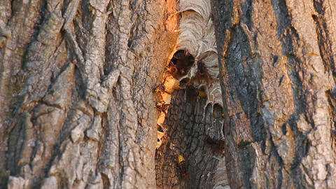 Wasp nest in a tree trunk Footage