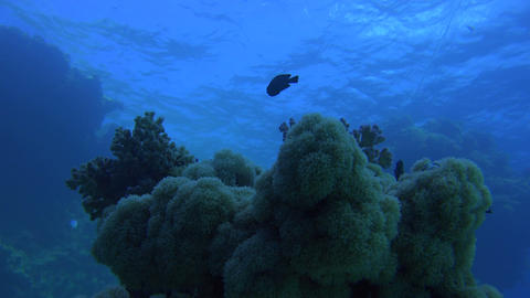 underwater corals illuminated with a deep blue color and surrounded by fish Footage