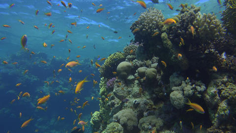 yellow and purple fish swim next to coral reef formations and hide in them Footage