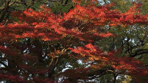 Autumn Leaves / Fall Colors / Tree - Musashino Park (Tokyo, Japan) - Field Recor ライブ動画