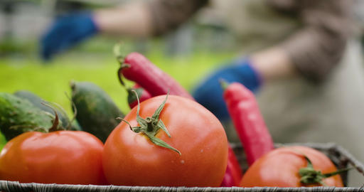 Close-up of fresh organic tomatoes, cucumbers and hot peppers lying in basket as Live Action