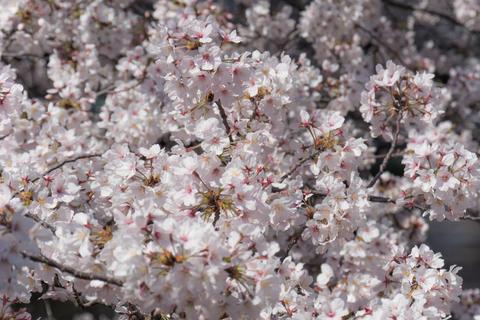 Beauty sakura flowers blooming in spring Photo