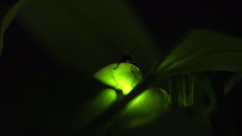 Firefly Acción en vivo