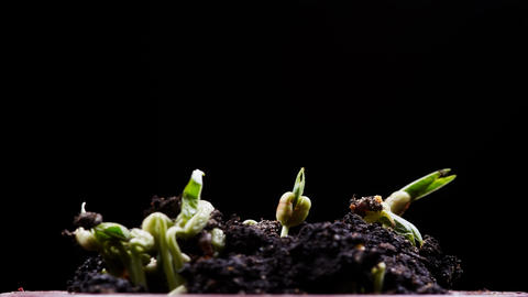 Mung beans germination on black background Live Action