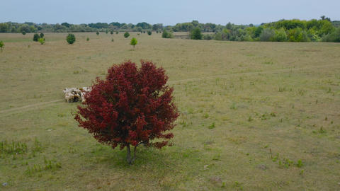 Drone following a herd of sheep. Sheeps running on a pasture. tree with red Acción en vivo