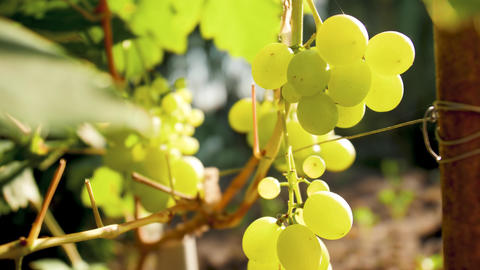 4k closeup video of ripe grapes on vine at bright sunny day on field Live Action