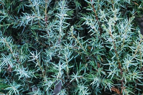 Juniper ordinary Hibernica