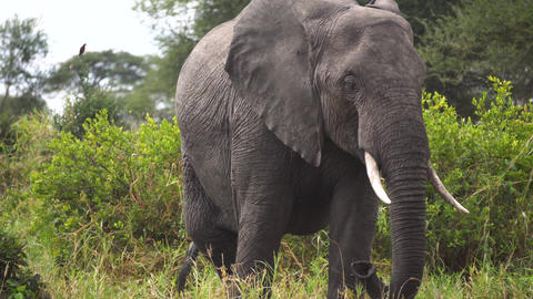 Elephant in Green Landscape of African Savanna. Animal in Natural Habitat Live Action