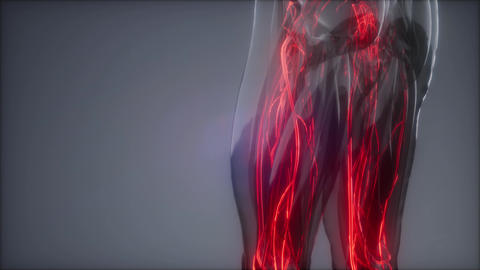 Blood Vessels of Human Body GIF