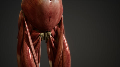 Muscular System of human body animation GIF