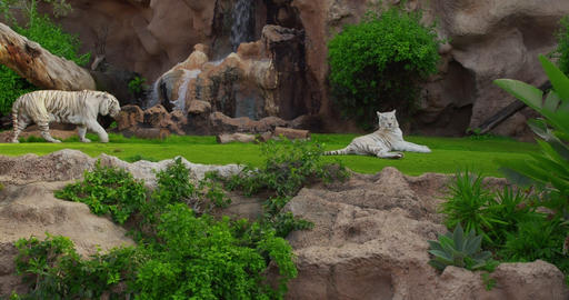 White tiger or bleached is a pigmentation variant of the Bengal tiger. Fun play Live Action