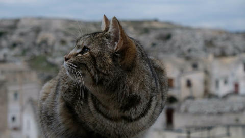 Striped wild cat face closing eyes motion details on matera blur background,pets Live Action
