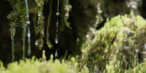 Slow motion close-up of water dribbling from moss, RED 4K Footage