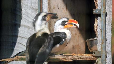 Couple Of Von Der Decken s Hornbill Footage