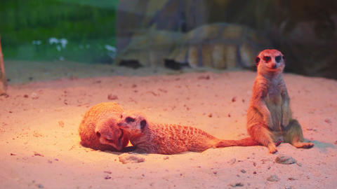 funny meerkats rest on sand in comfortable constrain at zoo GIF