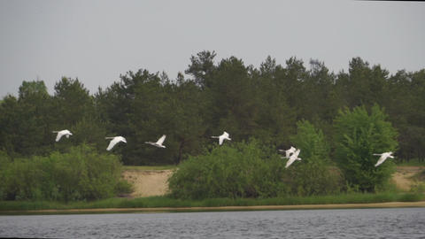 Flock of swans flight after takeoff on the river panoramic follow shot Live Action