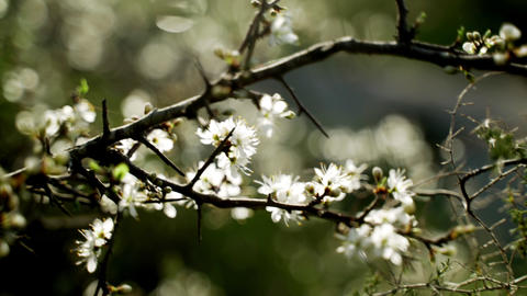 Close-up of the first spring white flowers. Spring flowering. Sunlight breaks Live Action