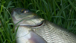 4K Ungraded: Bream Caught by Fisherman, Breathing Thorough Gills in Air Footage
