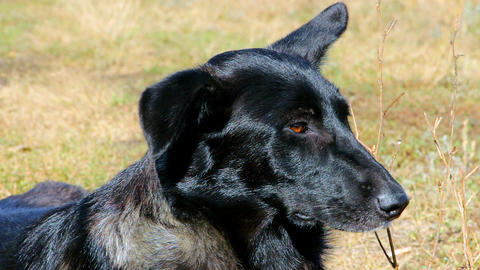 Muzzle of a black dog on the side close-up Live Action