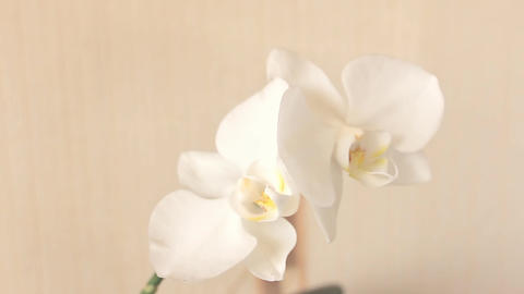 White Flowers Orchid closeup Footage