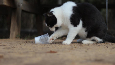 Cat Stealing Milk with is Paws from a Plastic Cup, Live Action