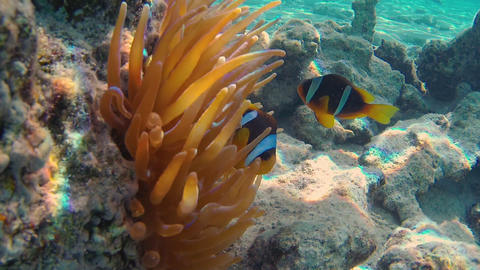 Clownfishes in anemones GIF