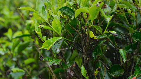 Panning footage of wet green tea leaves growing on tea bush at plantation on Sri Live Action