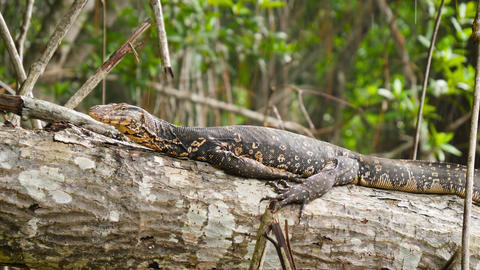 4k closeup footage of varan lizard relaxing and sitting on the tree at tropical Live Action