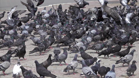 View of many pigeons on the ground Live Action