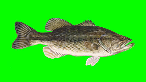 Beautiful Illustration of Bass Fish Swimming on a Green Screen Background Footage