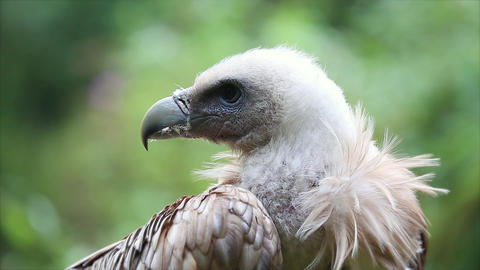 Close Up Portrait Of A Griffon Vulture Footage