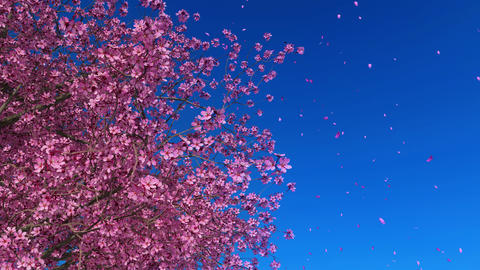 Cherry blossoms on blue sky background in slow motion Animation