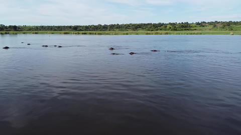 Group of hippos swimming in the river, looking from the water, wildlife Live Action
