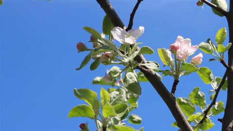 Apple tree flowers Footage