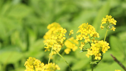 Winter cress flowers Live Action