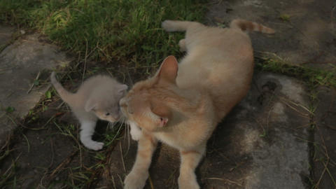 Kitten and mom cat Stock Video Footage