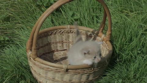 kitten in the basket Footage