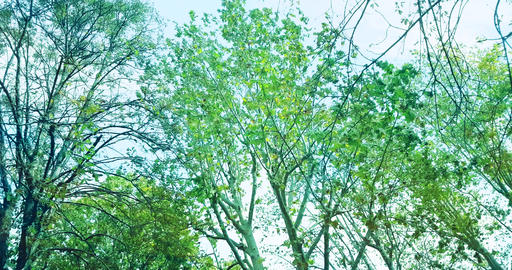 forest trees green spring summer leaves at daylight Live Action