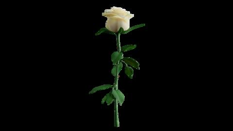 White Rose Rotation Loop Animation