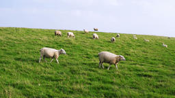 Sheep in Westerhever in Germany Live Action