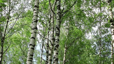 Birch trees in a forest Footage