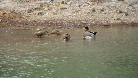 Ducks in Yangmingshan Hot Spring, Taiwan Live影片