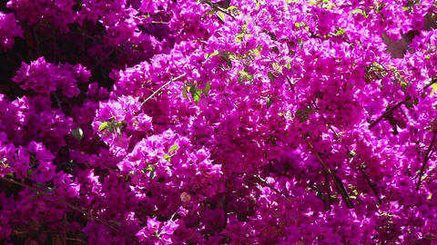 Background view of magenta flowers Live Action