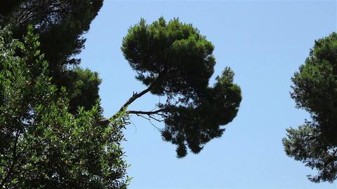 Pine tree over sky Footage